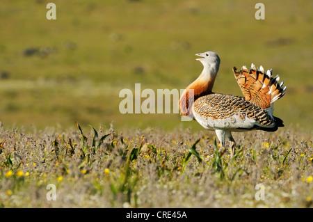 Great Bustard (Otis tarda), male, roaming the steppe of the Extremadura, Spain, Europe - Stock Photo