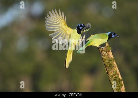 Green Jay (Cyanocorax yncas), pair, Dinero, Lake Corpus Christi, South Texas, USA - Stock Photo