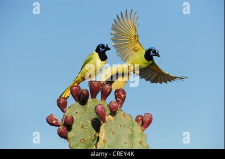 Green Jay (Cyanocorax yncas), pair perched on Texas Prickly Pear Cactus (Opuntia lindheimeri), Dinero, Lake Corpus - Stock Photo