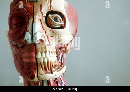 An anatomical model showing the skeletal and muscular structures of the face. - Stock Photo
