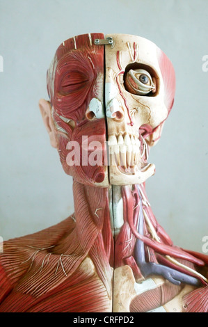 An anatomical model showing the skeletal and muscular structures of the face and neck. - Stock Photo