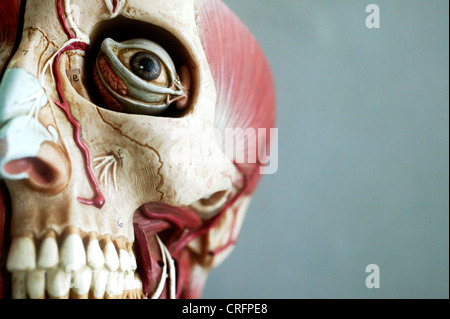 An anatomical model showing the skeletal structure of the head. - Stock Photo