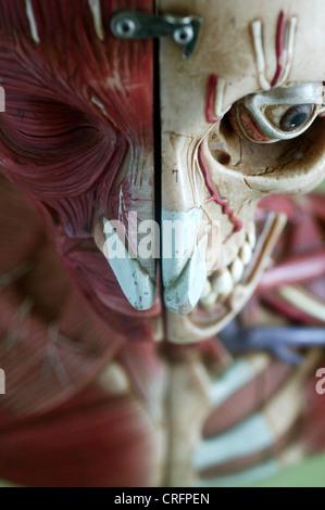 Academic Anatomical Anatomy Arteries Artery Biological - Stock Photo