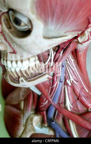 Academic Anatomy Arteries Artery Biological Biology Bone Eyes Face - Stock Photo