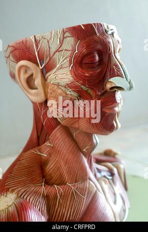 Academic Anatomy Arteries Artery Atlas Of Human Body - Stock Photo