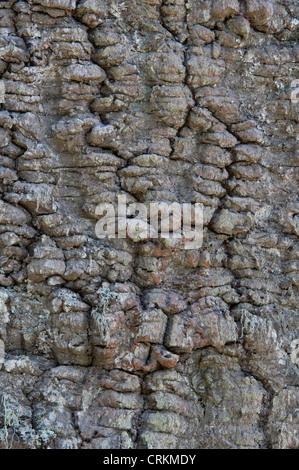 Monkey Puzzle trees (Araucaria araucana) close-up bark Lago Curruhue shore Auracaria Forest Laninn National Park - Stock Photo