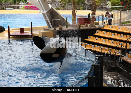 Orca (Killer Whale) jumping out the water at Loro Parque - Stock Photo
