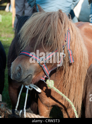 shetland pony on a horse market with people in background - Stock Photo