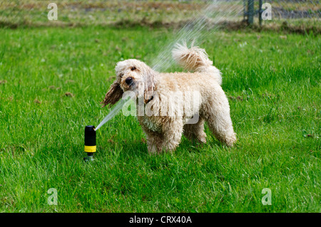 A darling young labradoodle dog drinks from a sprinkler in the yard on a warm summer day. - Stock Photo