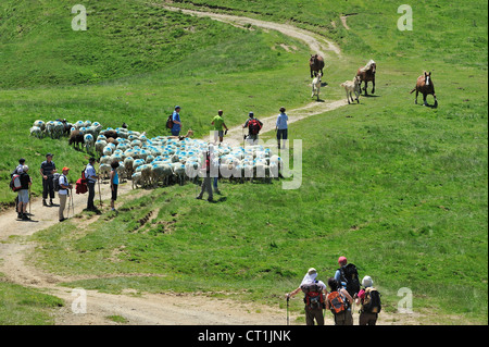 Free roaming horses and shepherd with tourists herding flock of sheep in the mountains at the Col du Soulor, Pyrenees, - Stock Photo