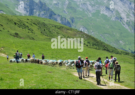 Shepherd and tourists herding flock of sheep to pasture in the mountains at the Col du Soulor, Hautes-Pyrénées, - Stock Photo