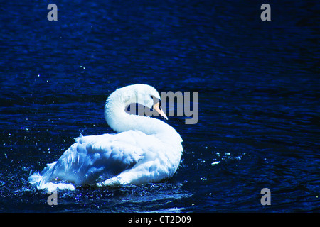 Photo of a white swan on dark blue water - Stock Photo