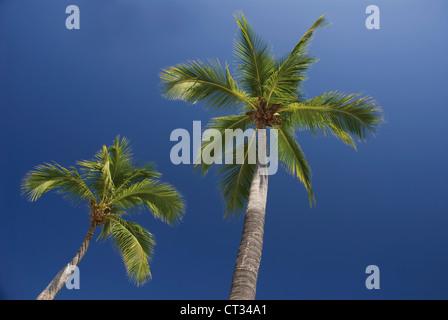 Cocos nucifera, Coconut palm - Stock Photo