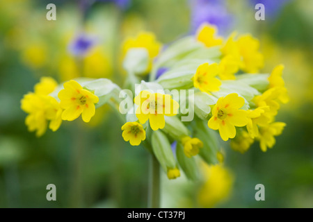 Primula veris. Cowslips flowering in an English meadow. - Stock Photo