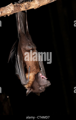 North America, USA, Pennsylvania, Hoothollow, Giant Fruit Bat, from India. - Stock Photo