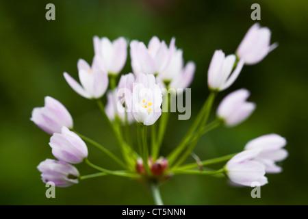 Allium roseum in an English garden. Rosy flowered garlic. - Stock Photo