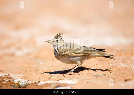 Crested Lark; Galerida cristata; Spain - Stock Photo