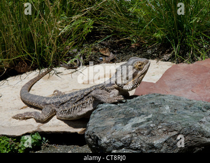 Close up photo of an Australian Bearded Dragon lizard in a natural setting. - Stock Photo