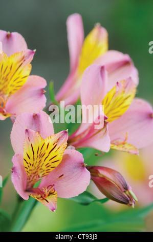 Alstroemeria, Alstroemeria, Peruvian lily - Stock Photo