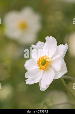 Anemone x hybrida 'Honorine Jobert', Japanese anemone white flower isolated in shallow focus against a green background. - Stock Photo