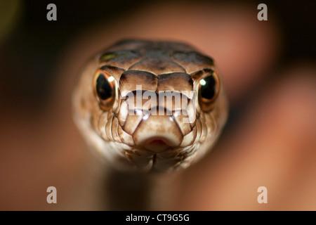Close-up of a coachwhip snake (Masicophis flagellum) - Stock Photo