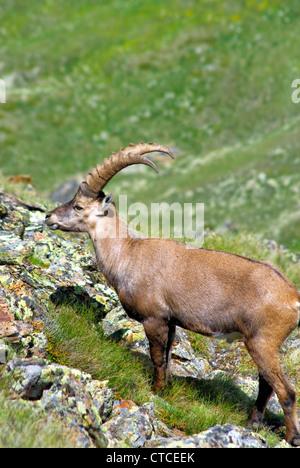Single Alpine Ibex, Swiss Alps, Switzerland | Einzelner Alpen-Steinbock, Pontresina, Graubuenden, Schweiz - Stock Photo