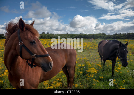 Horses on a Danish field with yellow flowers - Stock Photo