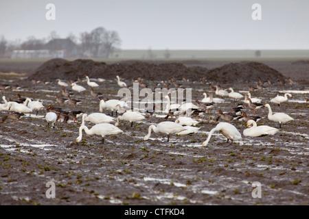 The Netherlands, Lauwersoog, Whooper Swans ( Cygnus cygnus or Cygnus musicus). - Stock Photo