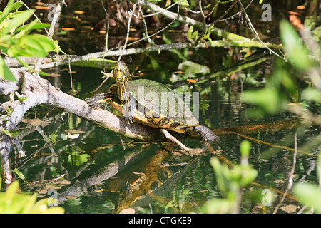 Snapping turtle on a branch in a mangrove swamp, Riviera Maya, Yucatan, Mexico. - Stock Photo