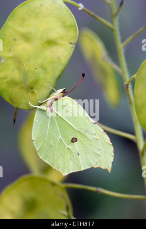 Brimstone Butterfly; Gonepteryx rhamni; male; UK; on honesty - Stock Photo