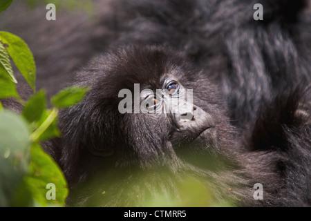 Mountain Gorilla (Gorilla Gorilla beringei), Vulcanoes National Park, Rwanda - Stock Photo