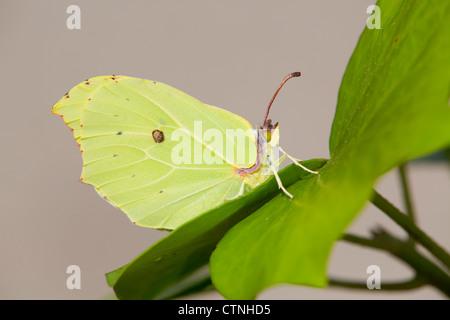 Brimstone Butterfly; Gonepteryx rhamni; on leaf; UK - Stock Photo
