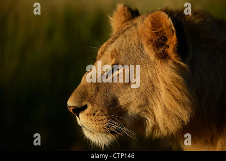 Portrait of an adolescent male African Lion in Kenya's Maasai Mara Game Reserve in earlly morning light. - Stock Photo