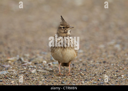 Crested lark (Galerida cristata) male sitting on the ground, Germany - Stock Photo
