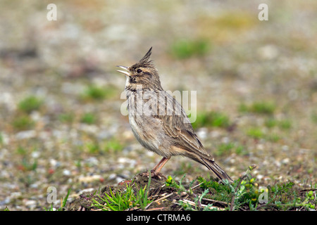 Crested lark (Galerida cristata) male sitting on the ground and calling, Germany - Stock Photo