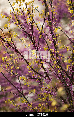 Cercis canadensis, Forest pansy, Purple. - Stock Photo
