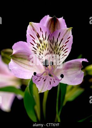 Abelia grandifolia, Alstroemeria, Peruvian lily, Purple, Black. - Stock Photo