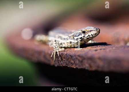 Podarcis muralis. Europaean wall lizard. - Stock Photo