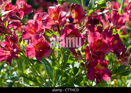 Alstroemeria 'Tessa' - Peruvian lily - Stock Photo