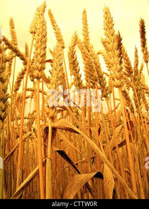 Wheat - Weizenähren - Stock Photo
