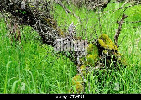 Green moss growing on tree trunk. Katmai National Park and Preserve. Alaska, USA. - Stock Photo