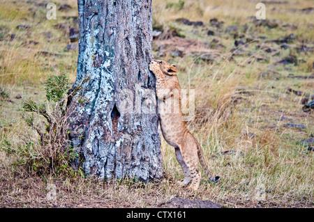 African Lion Cub, Panthera leo, trying to climb a tree, Masai Mara National Reserve, Kenya - Stock Photo