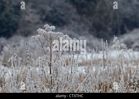 Hoar frost on plants - Stock Photo