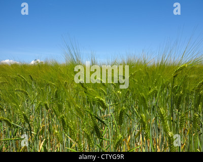 Young barley blowing in the wind in the farmers field - Stock Photo