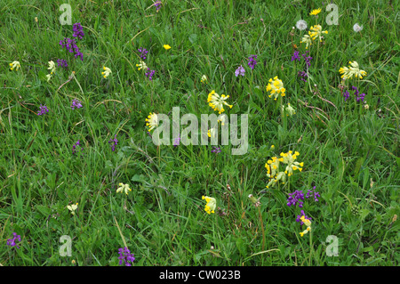 A field full of cowslips and green-winged orchids UK - Stock Photo