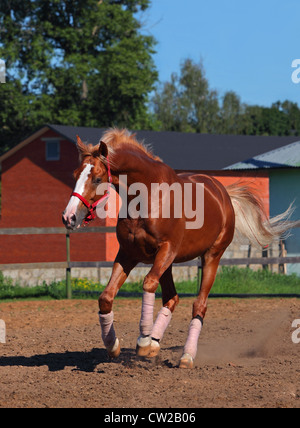Arabian horse galloping in paddock - Stock Photo