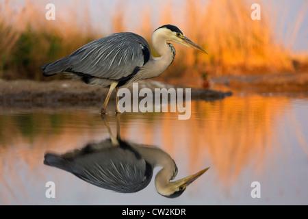 Grey Heron(Ardea cinerea) stalking prey.Hungry - Stock Photo