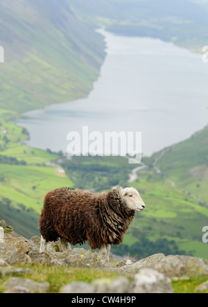 Traditional native Herdwick Sheep on Great Gable in the English lake District, with Wast Water in the background - Stock Photo