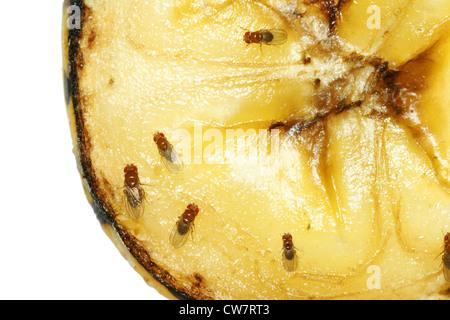 Macro of common fruit flies (Drosophila melanogaster) on piece of rotting banana fruit. - Stock Photo