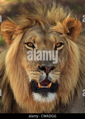 Lion portrait, Kgalagadi Transfrontier Park, Africa - Stock Photo